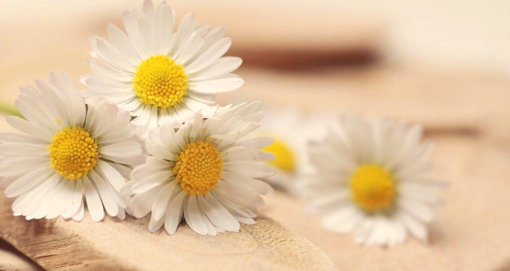 Denna bild har ett alt-attribut som är tomt. Dess filnamn är daisy-2313971_1920-1024x545.jpg